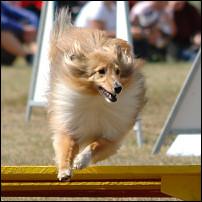 Agilityhund