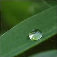 Lupinblad med vattendroppe