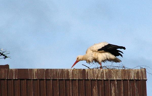 130427-storken2blogg