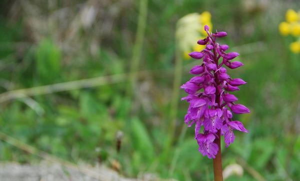 mini130511-orkide1